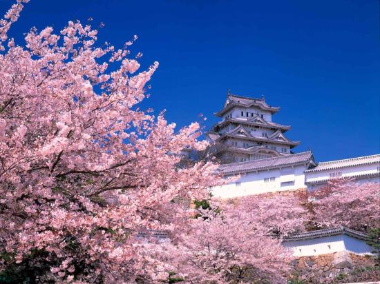 Where to Visit and Things to do in Tokyo - Cherry Blossoms